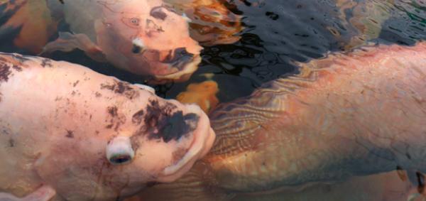 Desarrollan dieta para peces de cultivo